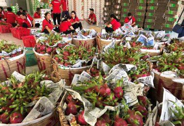 Trái thanh long chiếm gần 1/3 tổng giá trị xuất khẩu rau - quả VN /// Chí Nhân